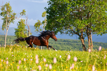 beautiful horse runs on a meadow in a sunny day