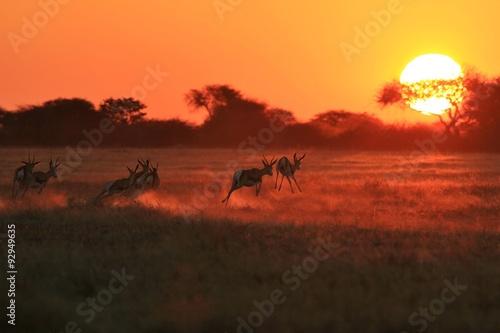 fototapeta na ścianę Springbok Antelope - Golden Sunset Wildlife Silhouettes