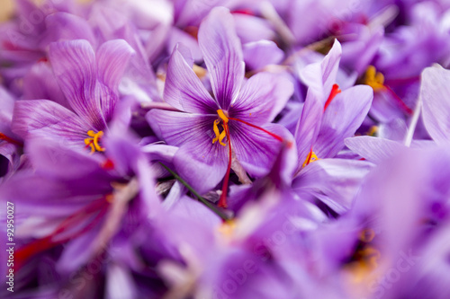 group of crocus