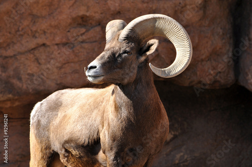 Fotografie, Obraz  Big horn ram sheep in rocky mountains