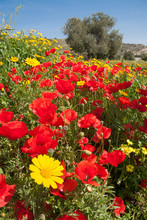 Field Filled With Red Poppies, Yellow Daisies And An Olive Tree In The Background On A Beautiful Spring Day In The Island Of Cyprus