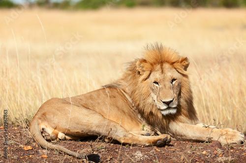 Fotobehang Male lion in Masai Mara