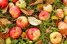 Apples On Green Grass . Top View