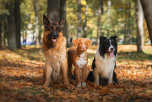 Dog Breed Border Collie And Ge...