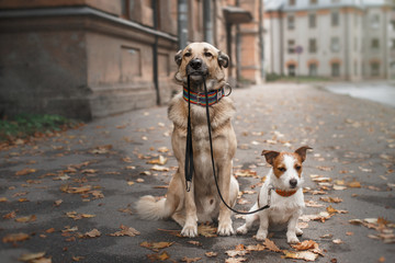 Fototapeta Mixed breed dog and Jack Russell Terrier walking in autumn park