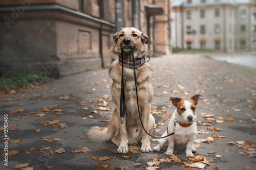 Poster Hond Mixed breed dog and Jack Russell Terrier walking in autumn park