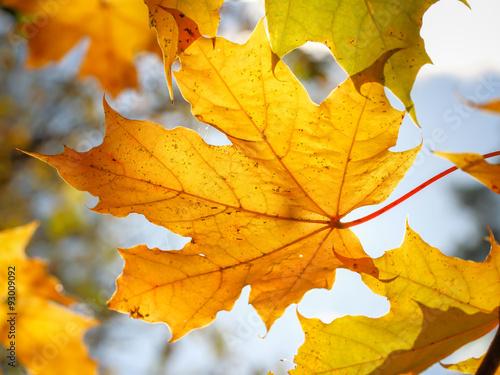 Осенний  кленовый лист на ветке Canvas Print