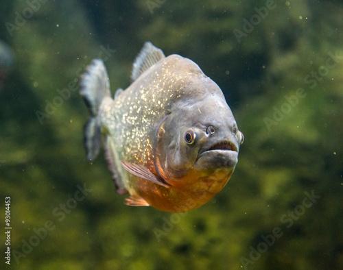 Fotografie, Obraz  Piranha dangerous freshwater fish underwater