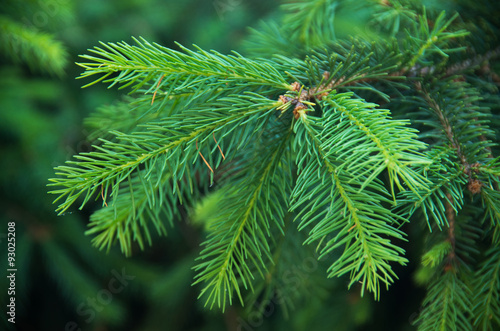 Obraz green fir tree or pine branches - fototapety do salonu