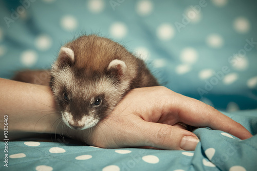 Fotografering  Ferret relaxing on hand