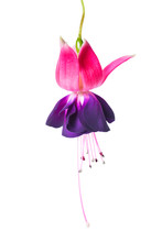 Blooming Beautiful Single Flower Of Violet And Red Fuchsia Is Is