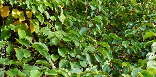 Photo Prolific vine of the green baby kiwi fruit actinidia arguta
