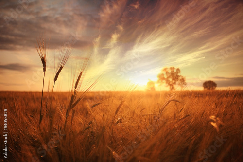 Foto auf AluDibond Rotglühen landscape fantastic sunset on the wheat field sunbeams glare