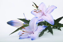 Lilium, Lily, Lilies, Lilium Candidum