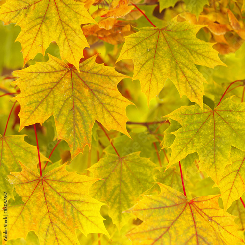 Photo  Lovely colorful autumn season maple leaves background with copy space background