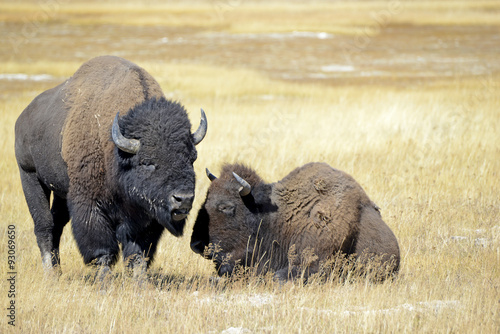 Fotografie, Obraz  Bison or American buffalo, one of America's largest mammals