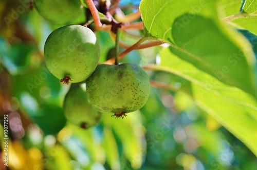 Green baby kiwi fruit actinidia arguta growing on the vine Canvas Print