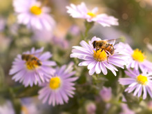 Closeup Honey Bee On Blue New ...