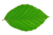 Beech Leaf Isolated On White B...