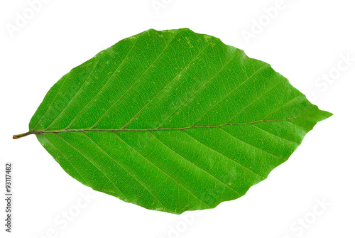 Stampa su Tela beech leaf isolated on white background