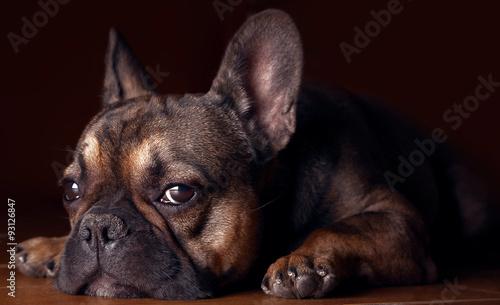 Poster Bouledogue français Awesome home portrait of a french bulldog