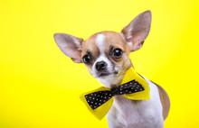 Beautiful Chihuahua Dog With B...