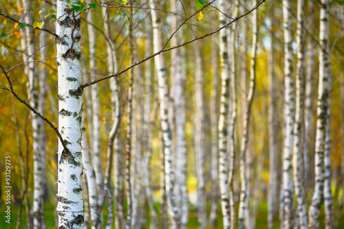 Blurred natural background birch wallpaper with shallow depth of field horizontal. Autumn concept.