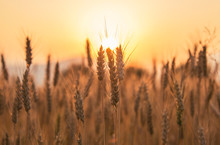 Sunset Over The Wheat Field. Photograph Was Taken In A Village Rodine, Slovenia. Macro Of Wheat And Barley In Early Summer.