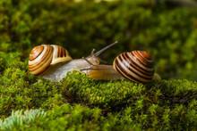 Snails Cepaea Hortensis On Wet...