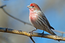 Male House Finch On Tree Branch