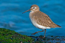 Dunlin On Moss Covered Jetty