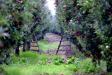 Apple Fruits In October Ready For Harvesting In Orchard