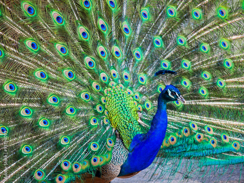 Foto op Aluminium Pauw A beautiful male peacock with expanded feathers