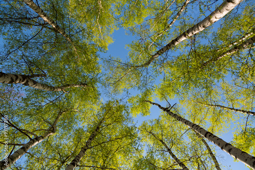 Green birchwood in a sunny day, the bottom view Wallpaper Mural
