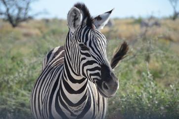 Fototapeta na wymiar Zebra, Etosha National Park, Namibia