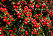 Bright Red Cotoneaster Berries