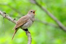Singing Nightingale Against Green Background