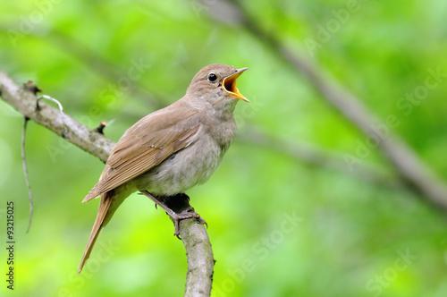 Photo Stands Bird Singing nightingale against green background