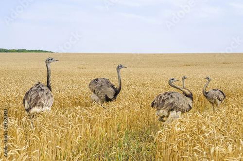 American greater rheas