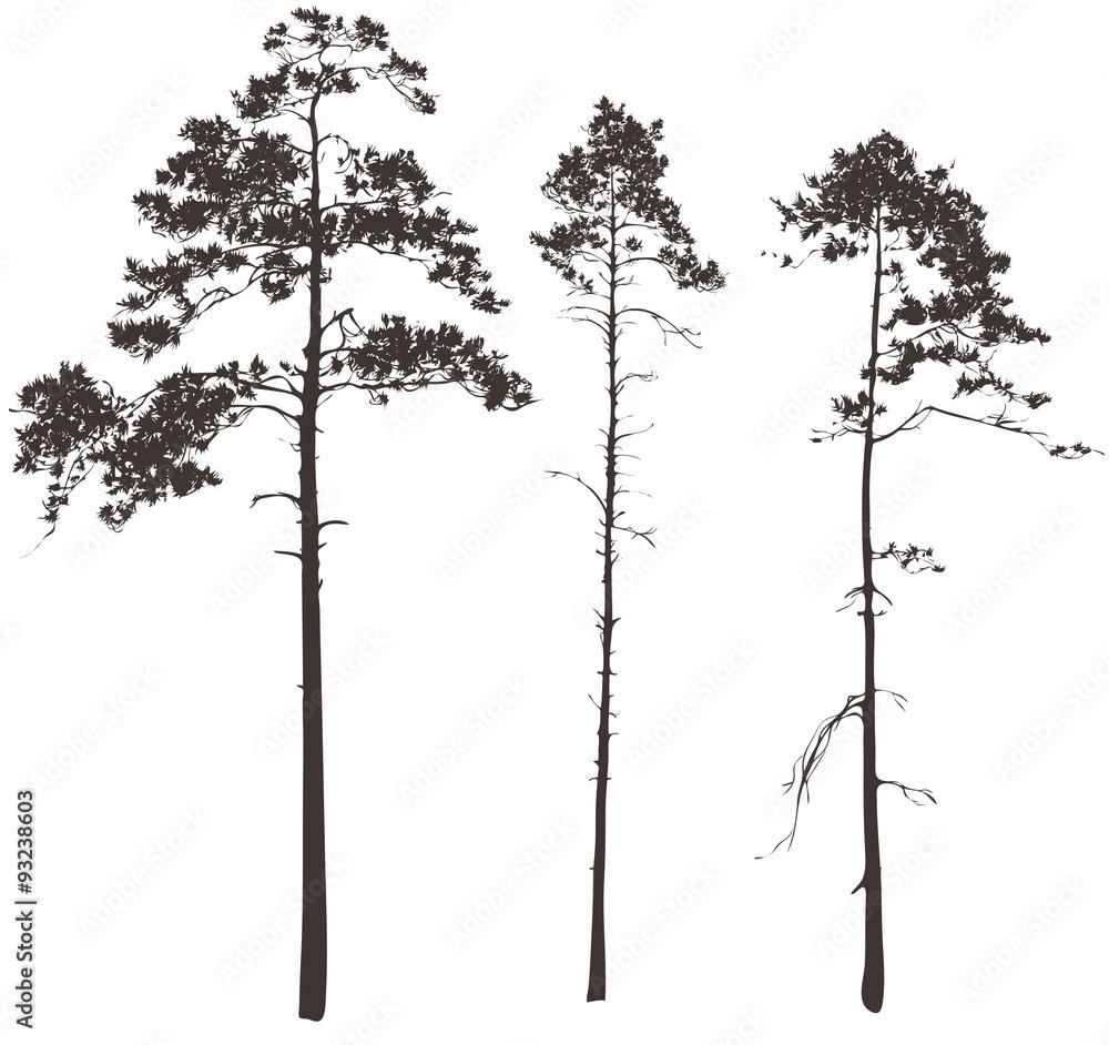 Fototapety, obrazy: pine