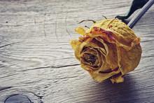 Dry Yellow Rose