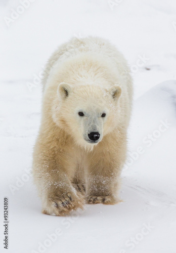 Staande foto Ijsbeer A polar bear on the tundra. Snow. Canada. An excellent illustration.