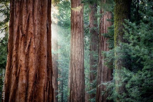Poster de jardin Parc Naturel Giant Sequoias in early morning light