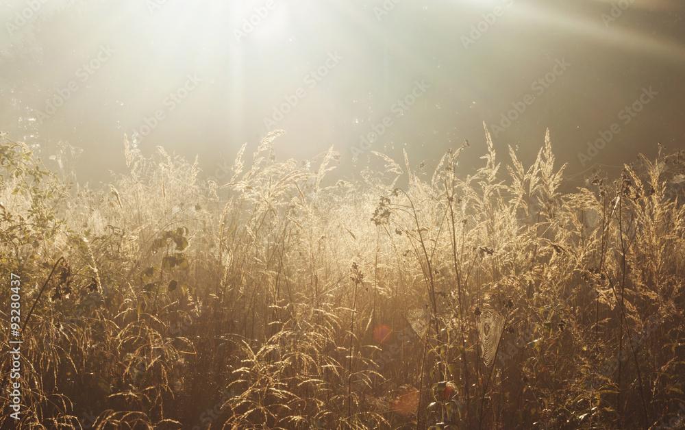 Fototapeta Golden grass fx