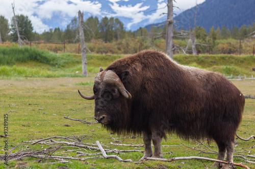 Staande foto Buffel Alaska buffalo