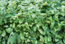 Green Leaf Background,white Pl...