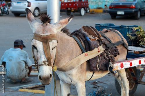 Fototapety, obrazy: workaholic donkey