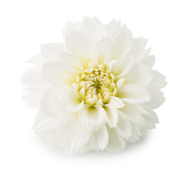 dahlias flower isolated on the white background