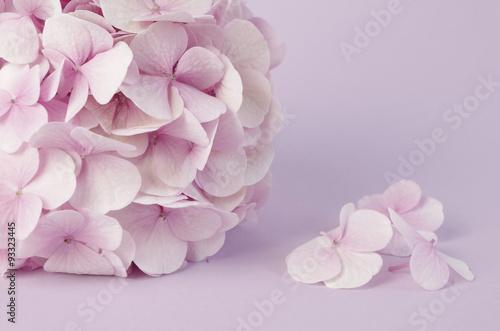 pojedyncza-rozowa-hortensja