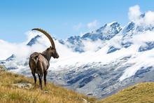 Alpine Ibex (Capra Ibex), Gran...
